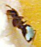 markierte ameise -- marked ant